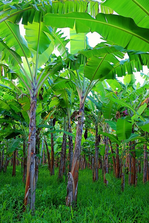Banana trees eat local