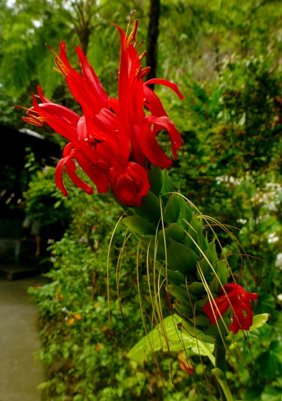 exotic flowers of Saint Lucia botanical gardens