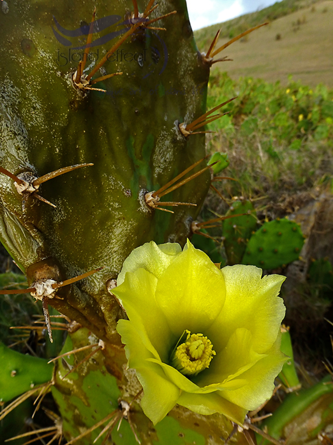 Opuntia nopales tunas prickly pear cactus edible wildplants