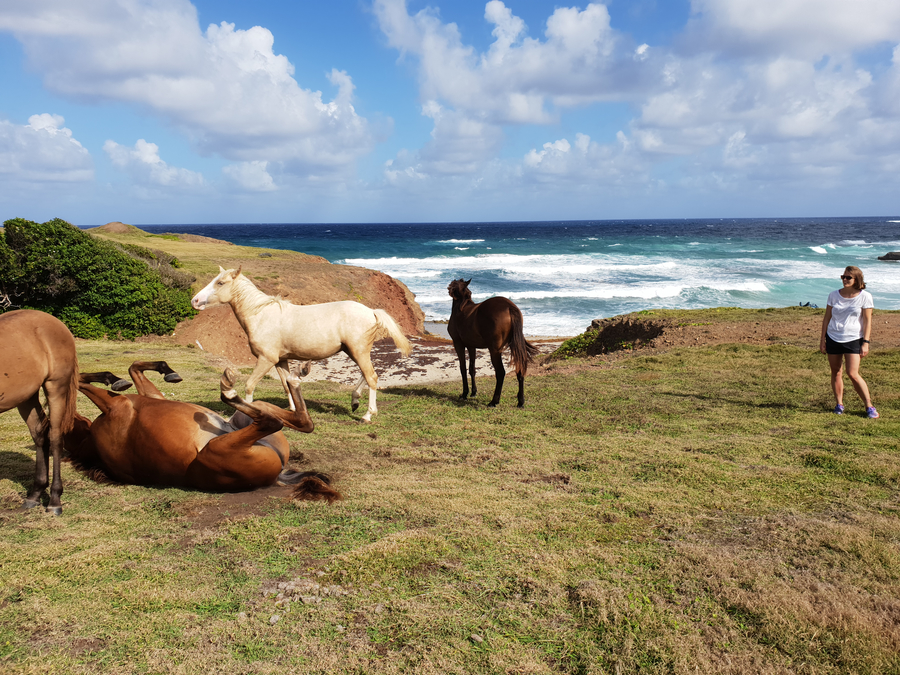 Saint Lucian horses - not wild, but left to graze in the beautiful scenery around Donkey Beach and Cas en Bas in the north of Saint Lucia