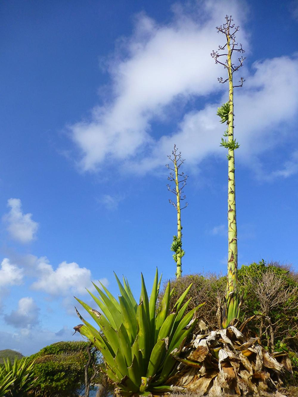 sisal plant agave Cap Estate Cotton Bay