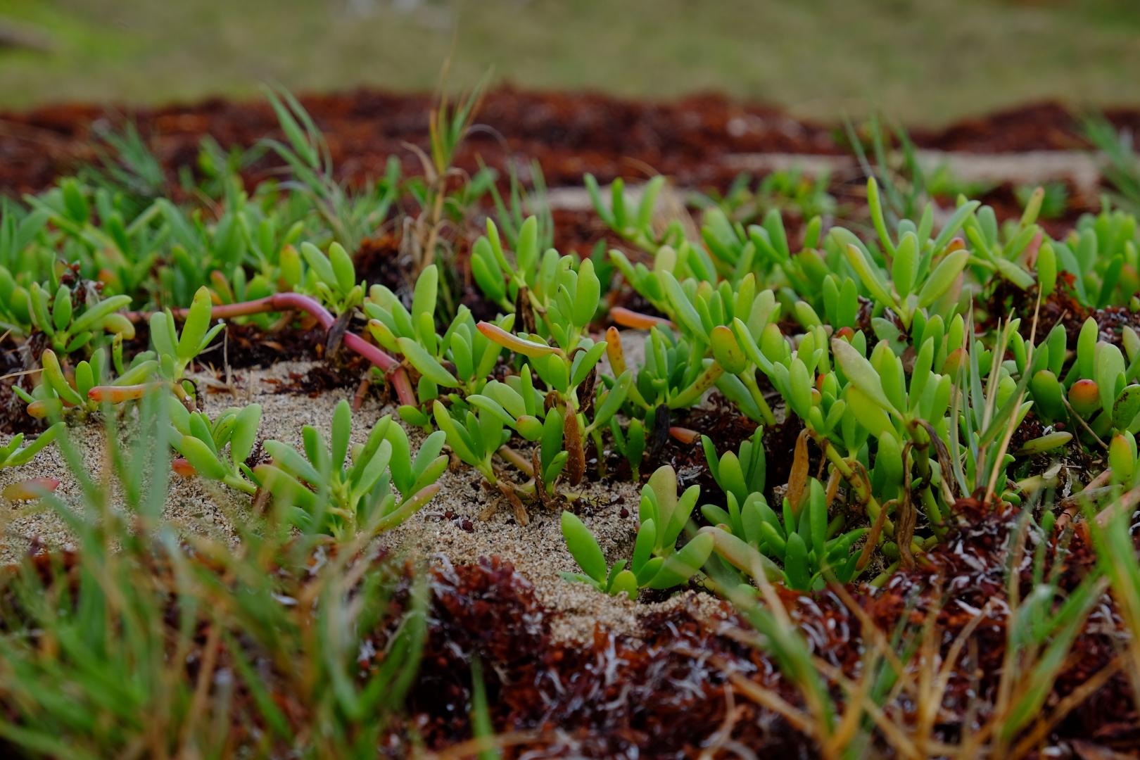 saint lucia wild foraging edible plants purslane samphire