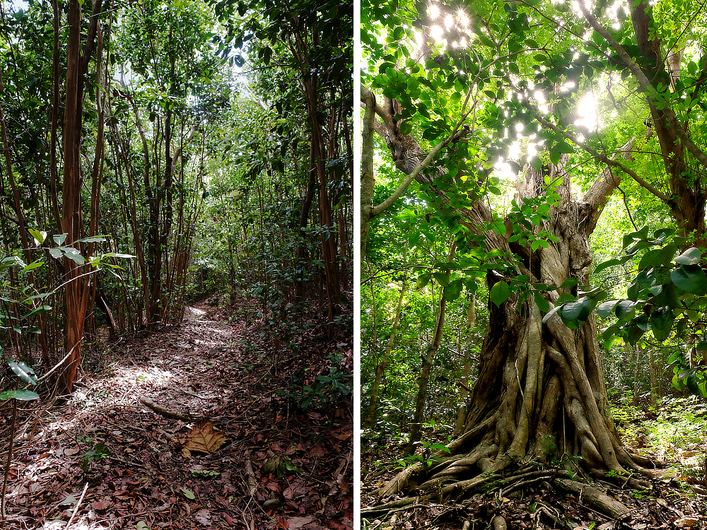 forest bathing at mamiku gardens st lucia bayleaf trees, ancient trees along serene walking paths.