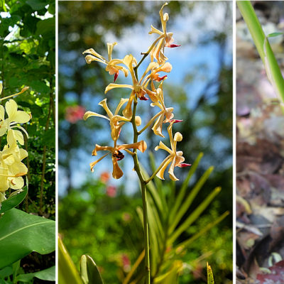 mamiku gardens orchid collection st lucia yellow orchid and yellow spiral ginger
