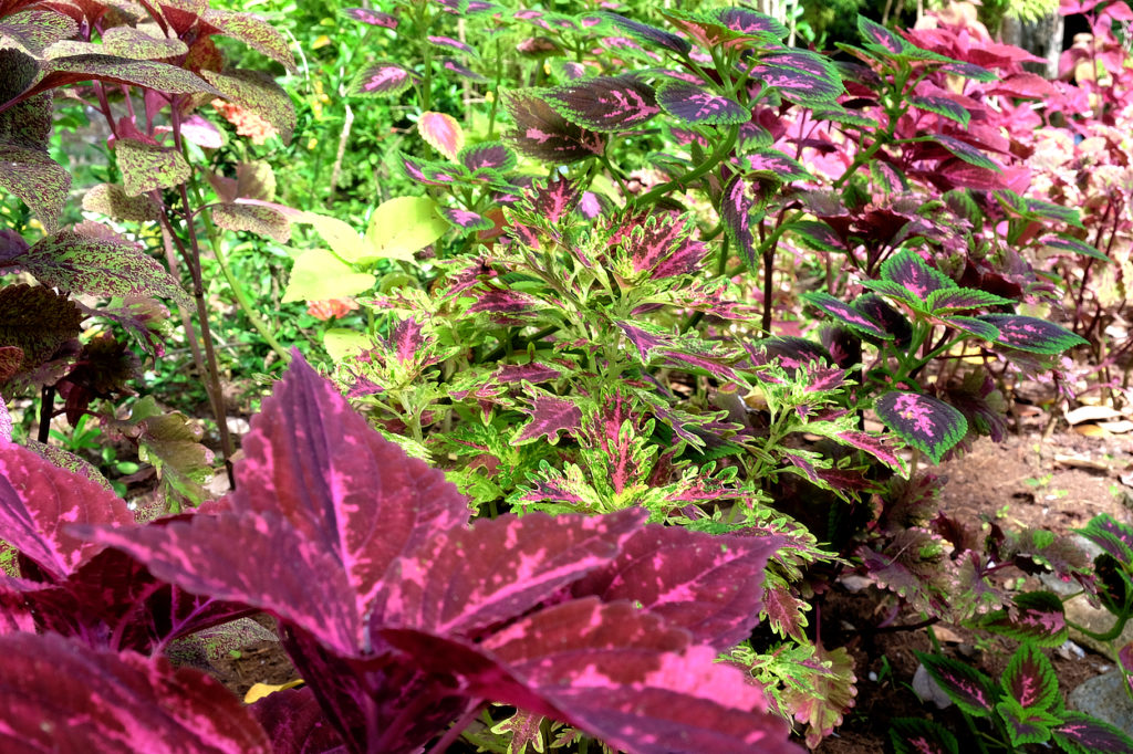 colourful coleus along one of the many paths in Mamiku Gardens Saint Lucia A great excursion from Coconut Bay resort