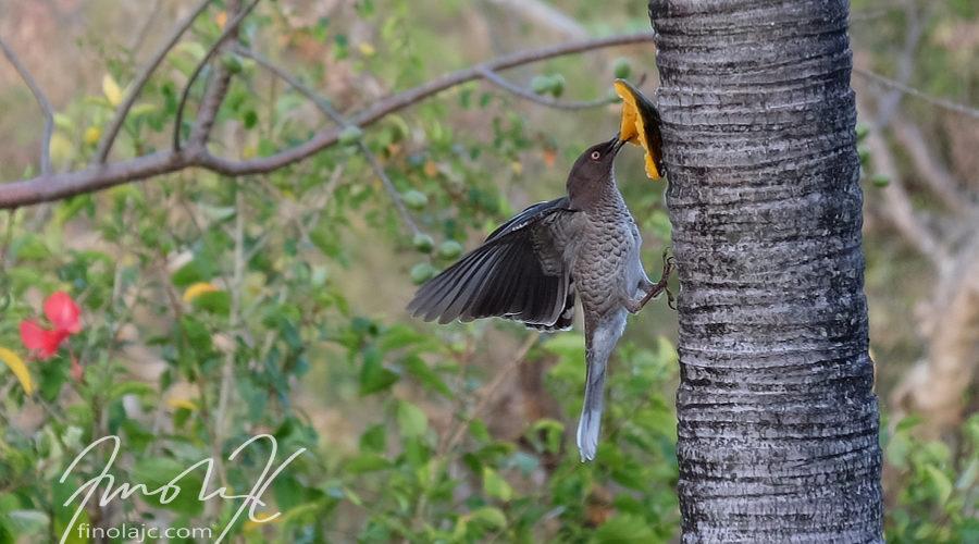 Saint Lucia Birds