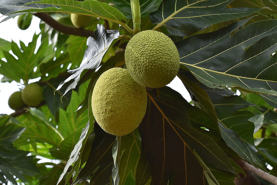 picture of breadfruit tree with two ripe breadfruit